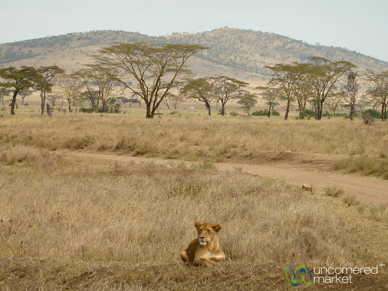 Lion Resting on Hill - Serengeti, Tanzania