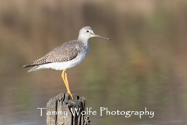 Yellowlegs, Greater