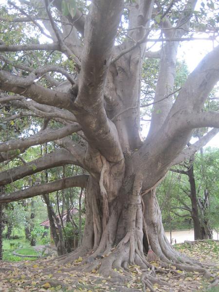 Another unusually shaped tree in Sri Lanka.