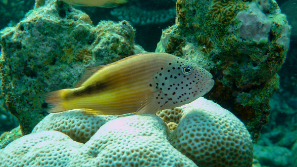 Forster's hawkfish, paracirrhites forsteri