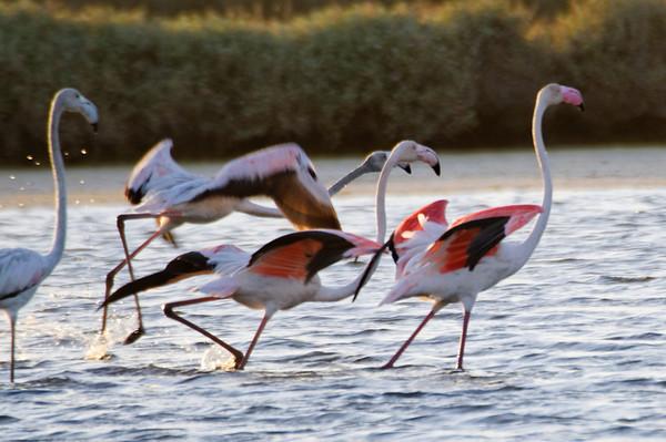 Flamingos na UA