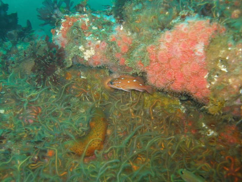 Rosy hiding alongside the Corynactis