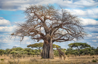 Giraffes of Tanzania