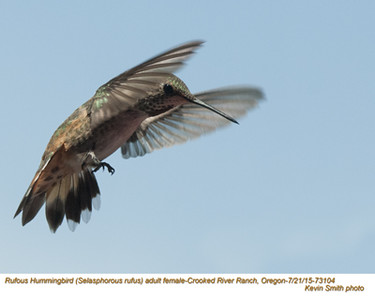 Rufous Hummingbird F73104.jpg