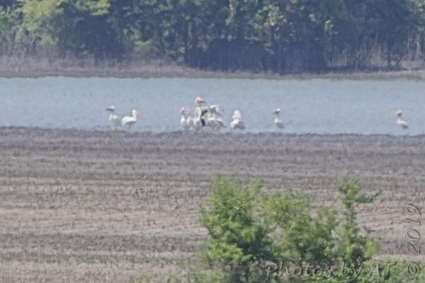 2019-07-20 Donaldson Point Conservation Area  • American Flamingo