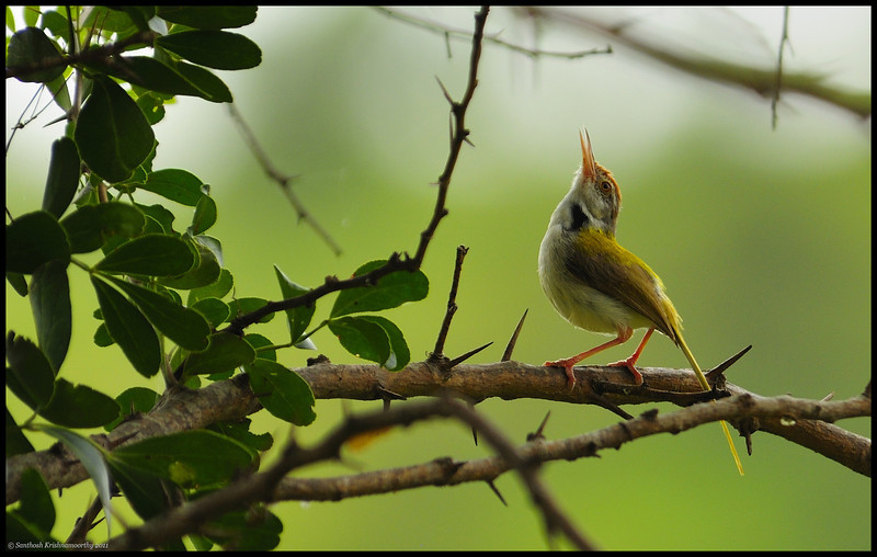 Tailor bird...looking up at the heavens...to be rid of the so called photographers..chasing it all over the place ... :)