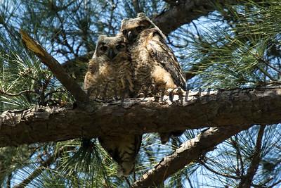 Owl  108