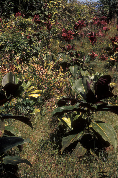 Miconia begins by spreading out into the edges of gardens.  (photoID: bhg000322)