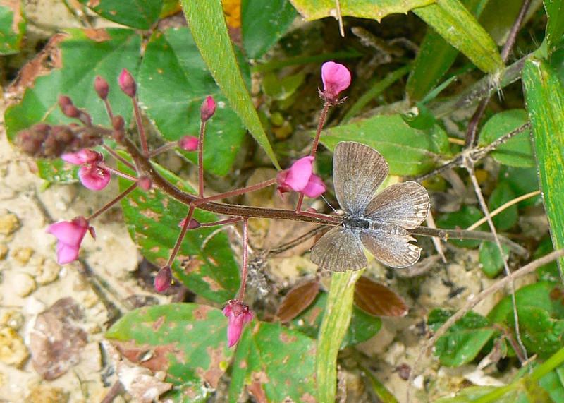 P100ETailedBlueCR474 Aug. 9, 2006  10:52 a.m.  P1000474 Eastern Tailed Blue, Cupido comyntas, Chajul to Santa Marta day.