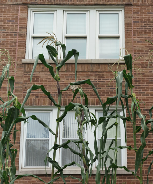 Corn Stalks by the 2 flat