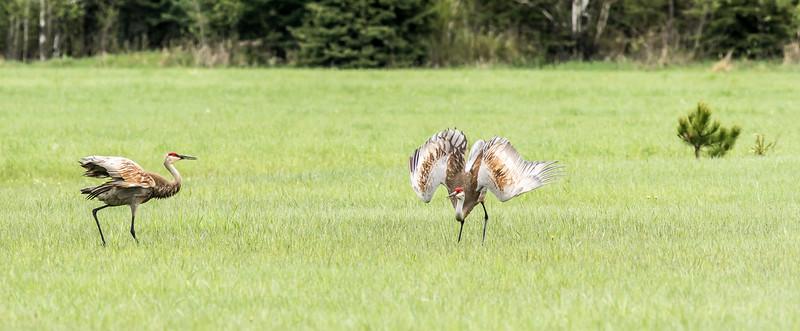 Sandhill Crane courtship dance Arkola Road Sax-Zim Bog MN DSC07901.jpg