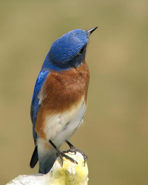 bluebird_7964.jpg