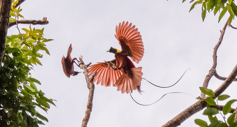 Red Bird of Paradise - Male and Female