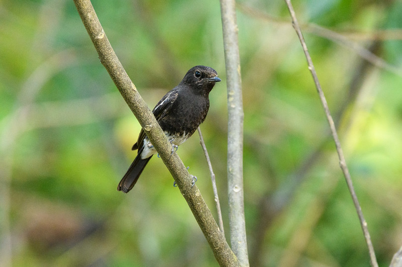 Pied Stonechat (Male) in Corbett, NP, India