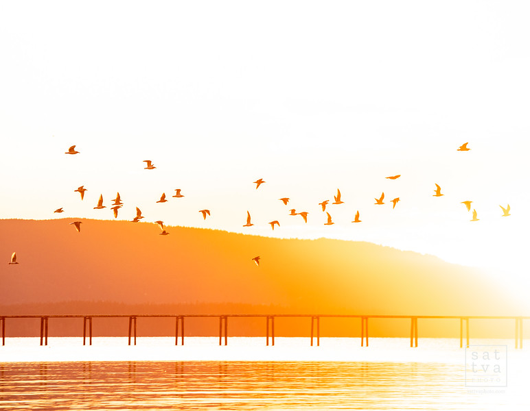bellingham-bay-birds