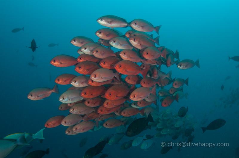 Big eye snapper, Dramai, Triton Bay, Indonesia