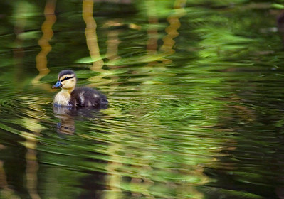 Nature Photography -Ducks & Ducklings