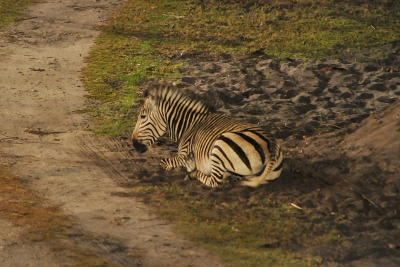 Zebra resting at 1 am
