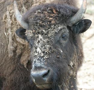 South Dakota Buffalos