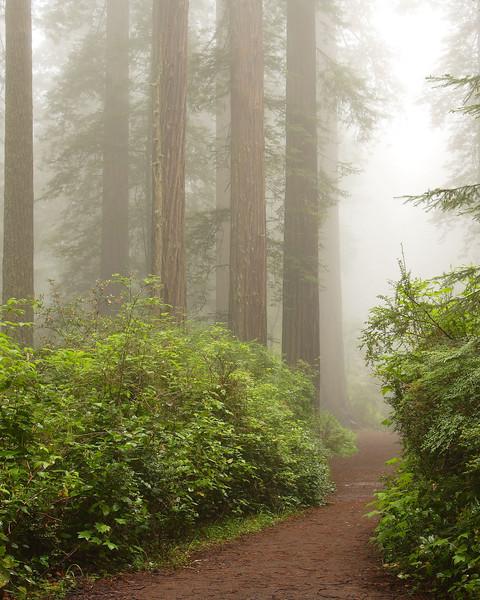 Redwoods in Morning Fog Redwood National Park California
