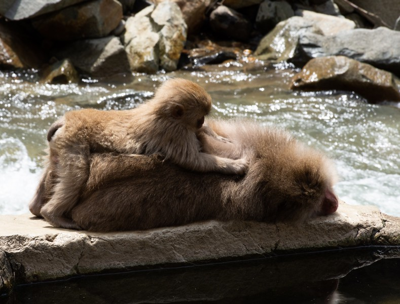 Baby Snow Monkey Grooming Its Mother