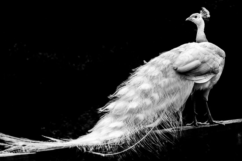 bw peacock.jpg