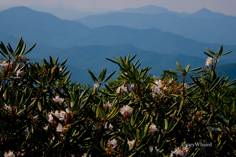 Blue Ridge Blooms
