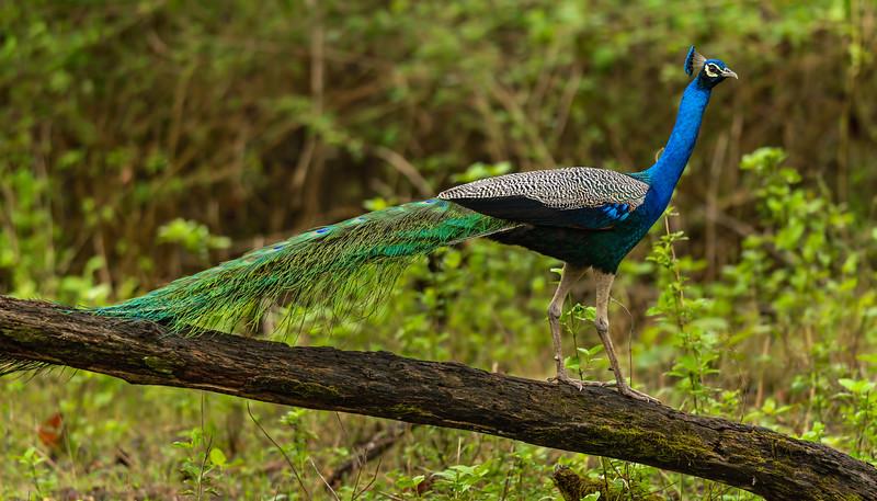 Peacock-on-a-ramp.jpg
