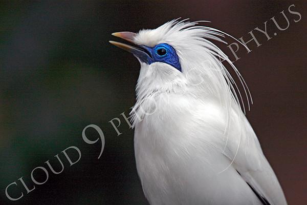 Bali Myna Wildlife Photography