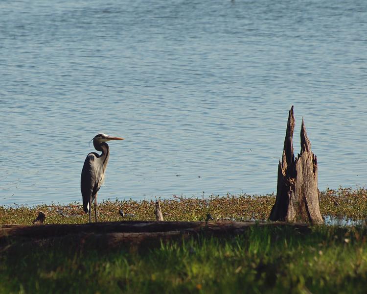 Blue Heron Resting on Lake Fork, Texas