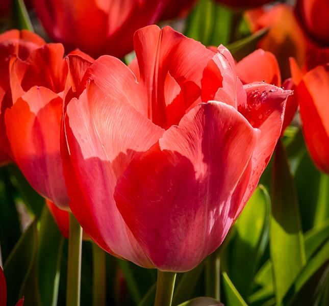 Tulip Bloom 5
