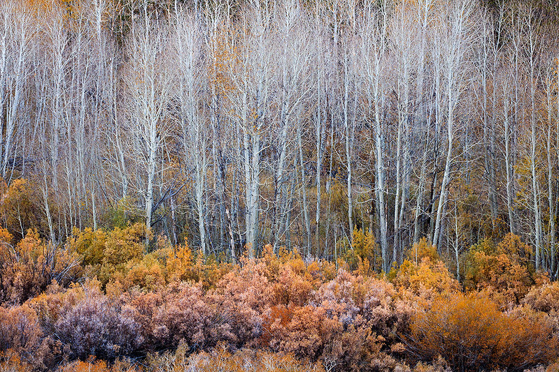 Conway_Summit_Aspen_Trunks_No_Leaves_T6A4266.jpg
