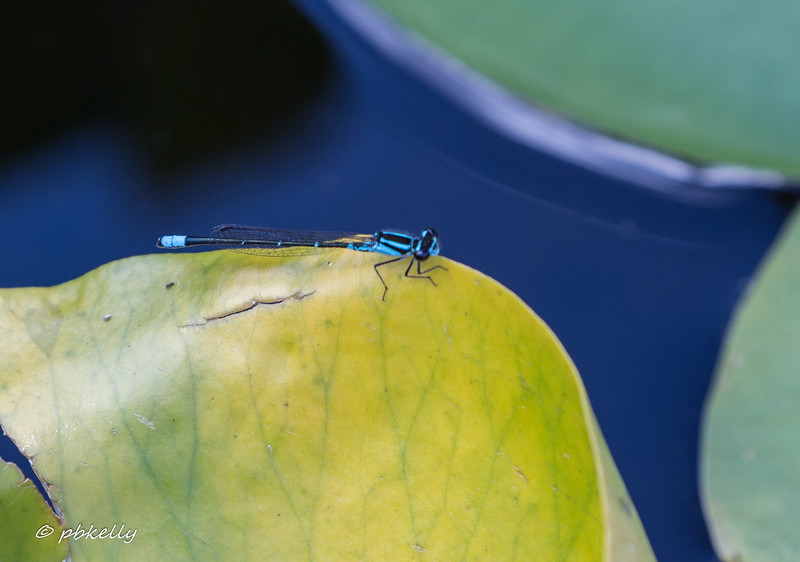 Skimming Bluet, Enallagma geminatum.  This one is an old friend.