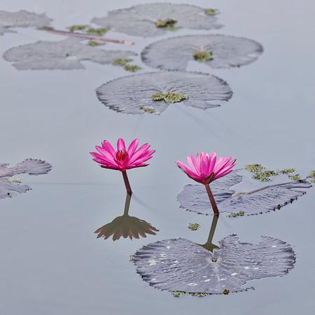Lotus & nénuphars