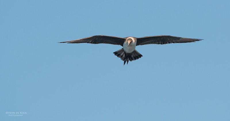 Arctic Jaeger, Wollongong Pelagic, NSW, Aus, Sep 2013.jpg