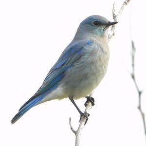 2012-11-15 Mountain Bluebird