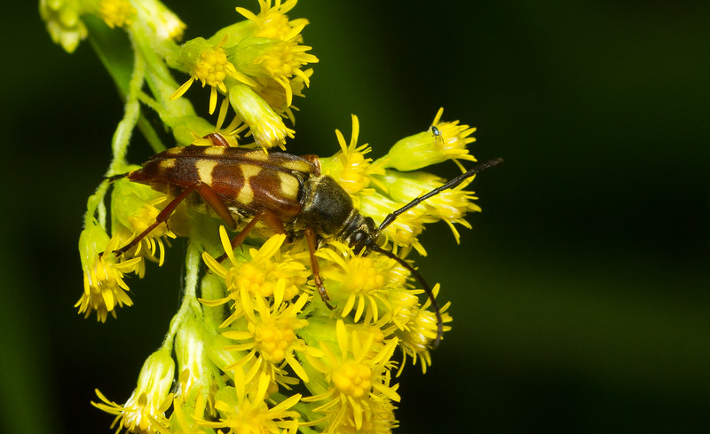 Banded longhorn beetle (Typocerus velutinus) from Wisconsin.