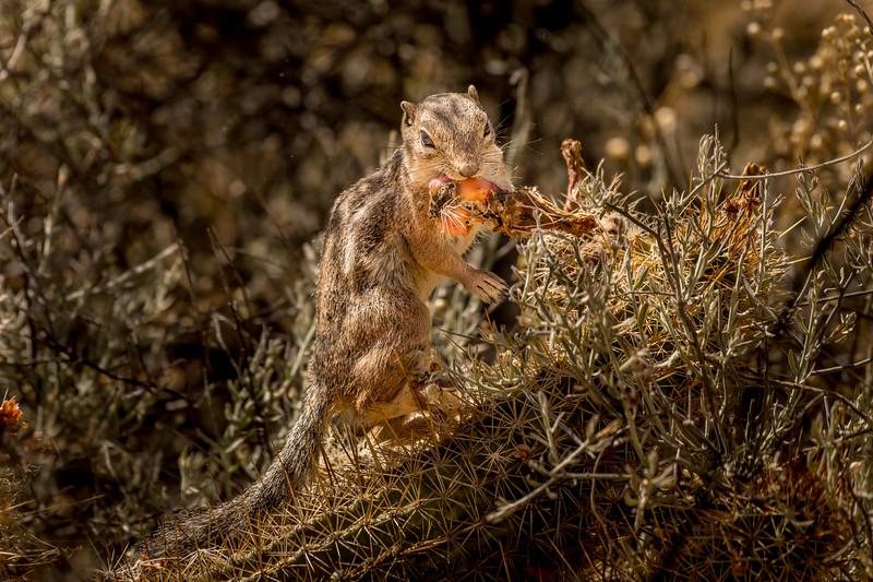 Harris Antelope Squirrel and Cholla Cactus #6