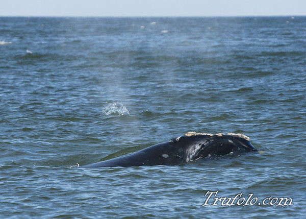 Whale in Seabright, NJ 7-5-09