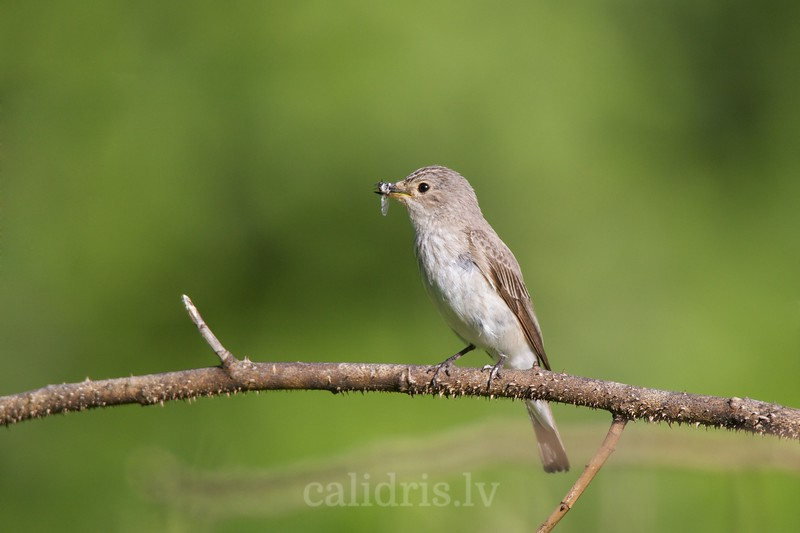 Perched Spotted Flycatcher