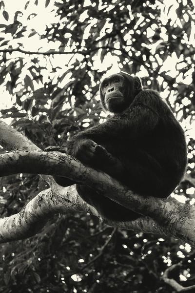 Uganda_T_Chimps-926.jpg