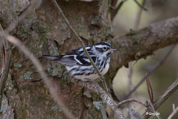 Black & White Warblers