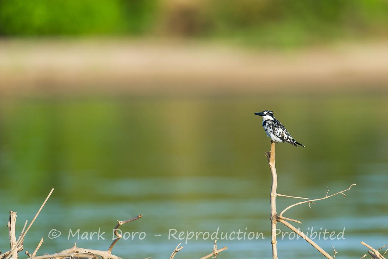 Pied Kingfisher, Rufiji River, Selous, Tanzania