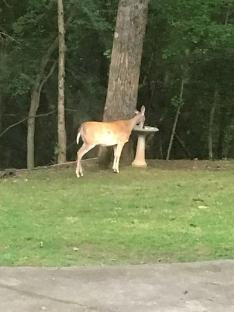 Windy Hill Deer