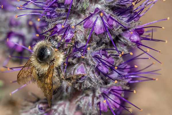 Bombus mixtus - Fuzzy-horned bumble bee (USA)