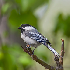 Blackcapped Chickadee