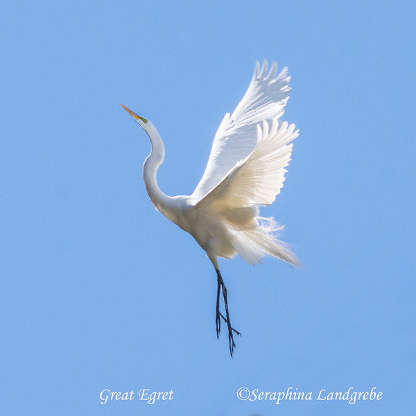 _DSC8536Egret Ascension.jpg