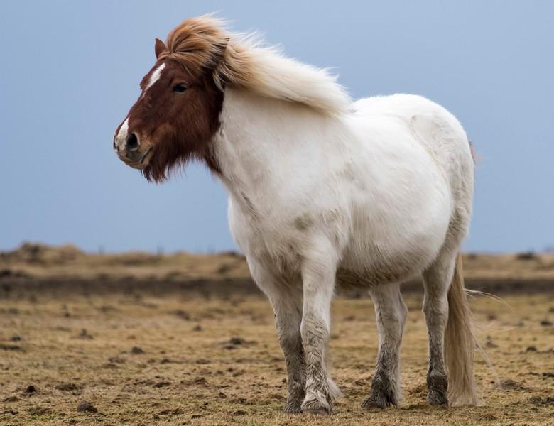 Horses_Iceland-32.jpg