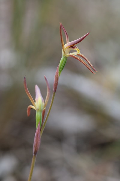 Lyperanthus suaveolens - Brown Beaks - Anglesea
