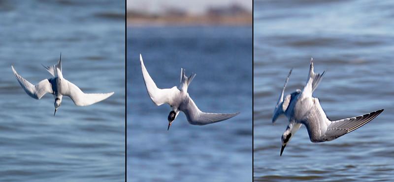 Three Sandwich Terns, each making its dive